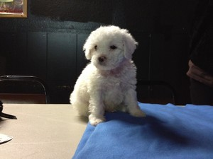 Male white Cockapoo Puppy for sale #21 Ready By Christmas 2012 Born October 1, 2012