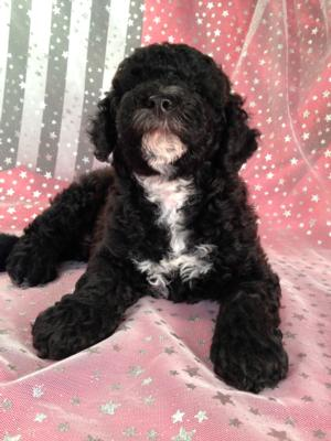 Black Cockapoo Puppy for Sale by Breeders Located in North Iowa. 6