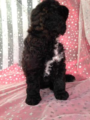 Black Cockapoo Puppy for Sale by Breeders Located in North Iowa. 3