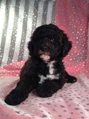 Black Cockapoo Puppy for Sale by Breeders Located in North Iowa. 5
