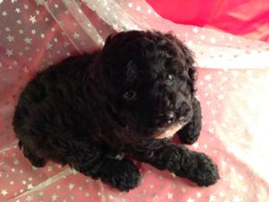 Black Cockapoo Puppy for Sale by Breeders Located in North Iowa. 2