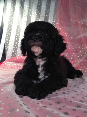 Black Cockapoo Puppy for Sale by Breeders Located in North Iowa.
