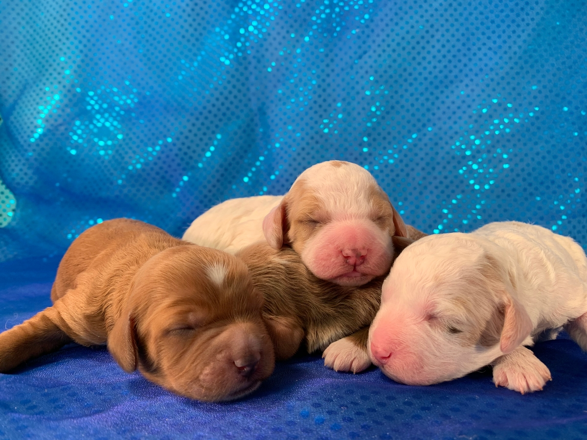 Iowa's Top Dog Breeder Has Announced Available Cockapoo Puppies In Their 3-17-2020 Litter!