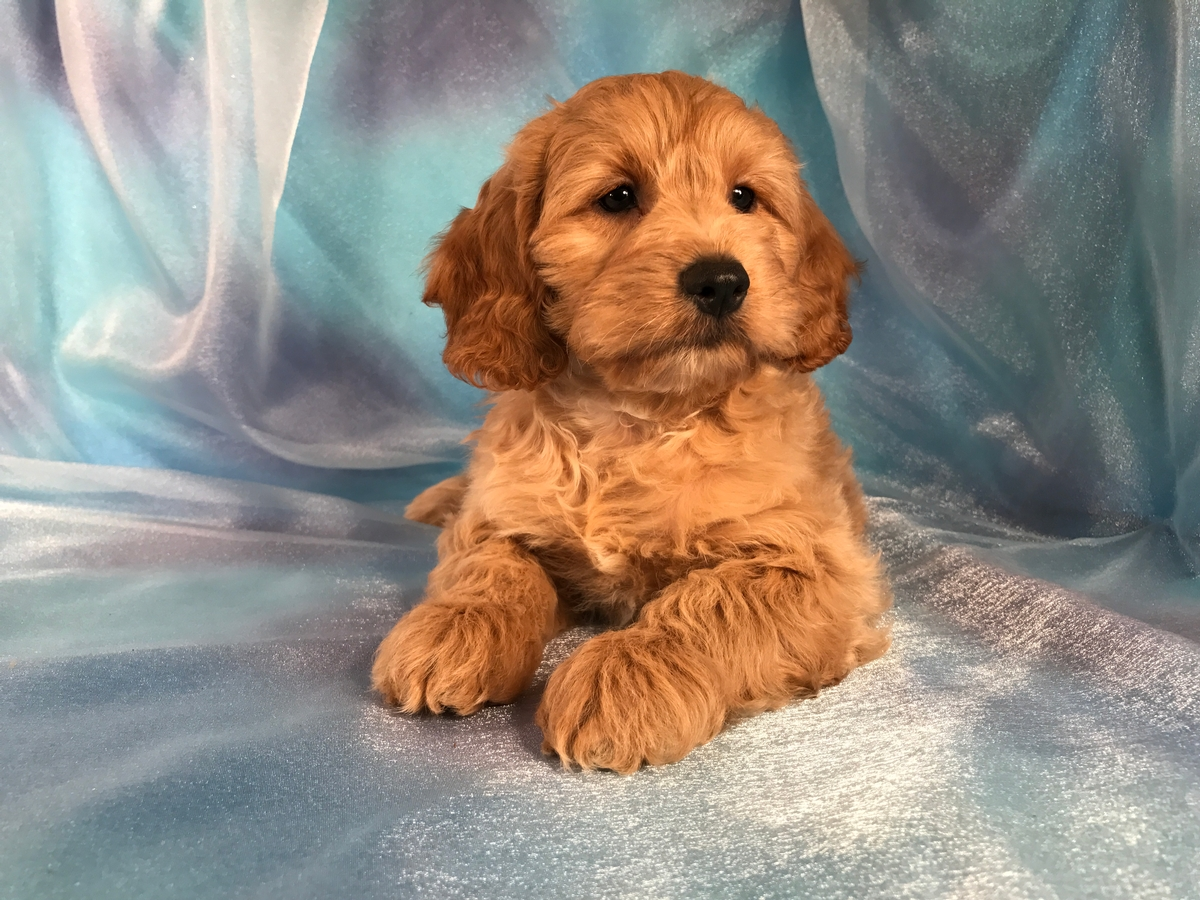 Cockapoo Breeders with Cockapoo puppies for sale