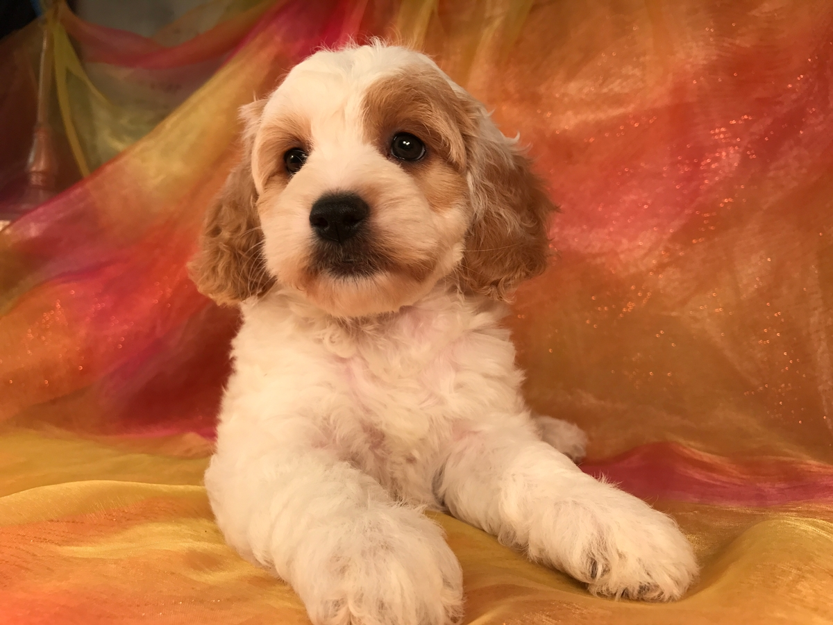 Cockapoo Breeder, Midwest
