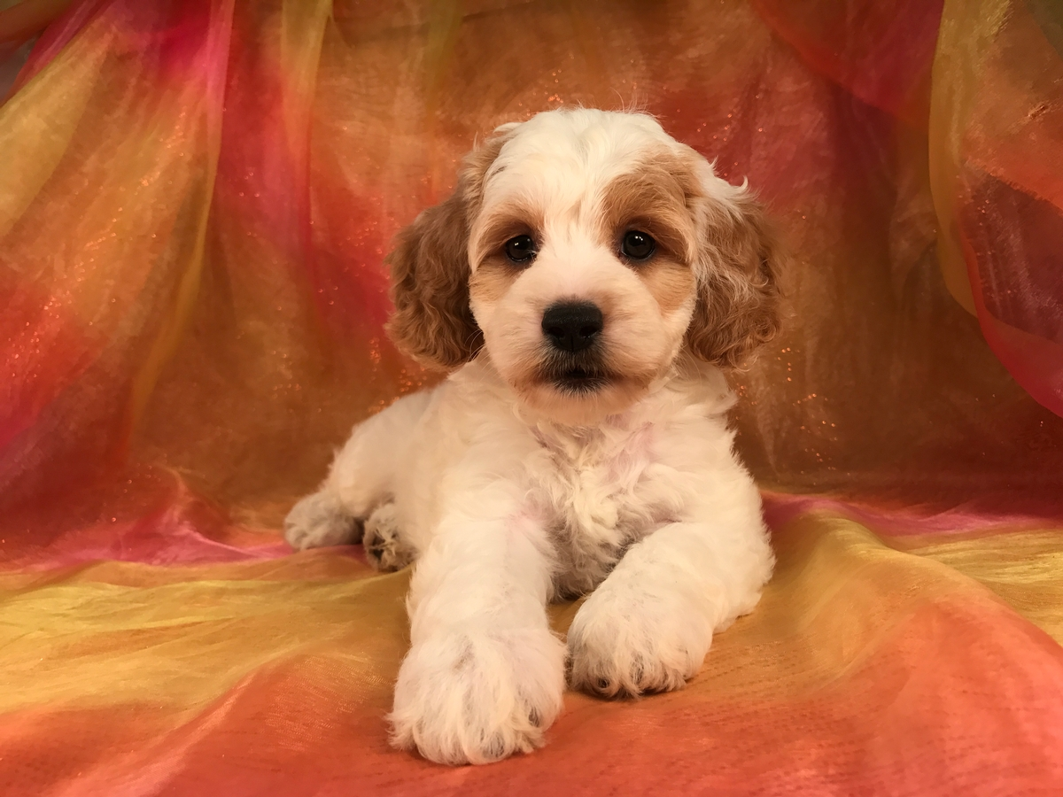 Attention Illinois, Minnesota, Iowa, and Wisconsin! Iowa's Top Cockapoo Breeders Have Puppies for Sale Right Now!