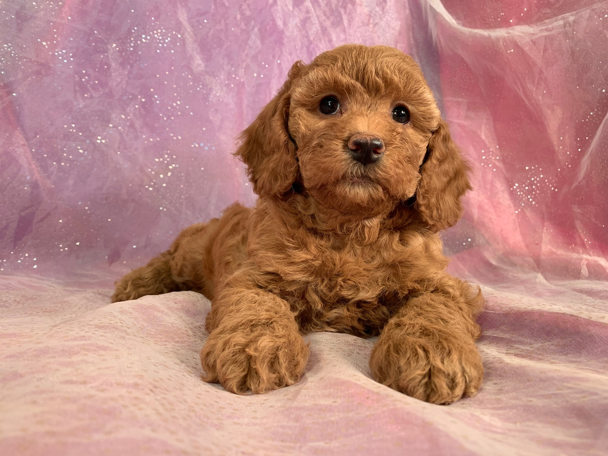 Female Cockapoo Puppy For Sale, Red DOB 10-26-2019 $975