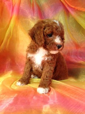 Iowa's Top Cockapoo Breeder has a Perfect Dark Red Female Puppy for Sale, Only $875.