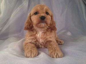Female Cockapoo Puppy for sale #21 DOB February 26th, 2013|We welcome Cockapoo buyers from Minnesota Wisconsin and Illinois!