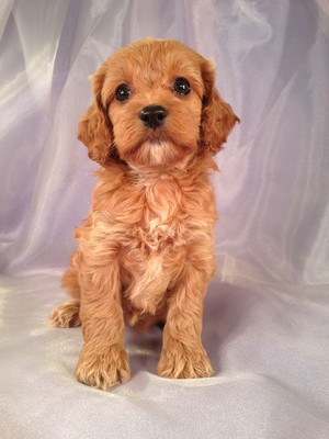 Female Cockapoo Puppy for sale #22 DOB February 26th, 2013|We are easy to find if your coming from Illinois or Wisconsin.