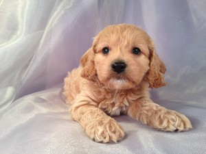 Female Cockapoo Puppy for sale #23 DOB February 26th, 2013|Short drive from Illinois and Wisconsin.