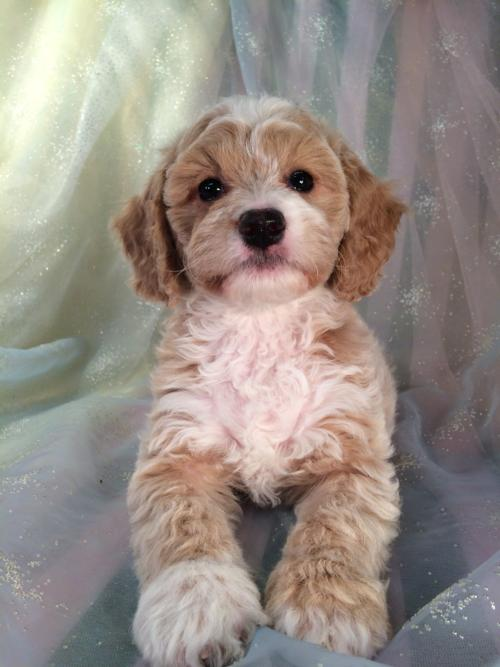 Apricot and White Female Cockapoo Puppy