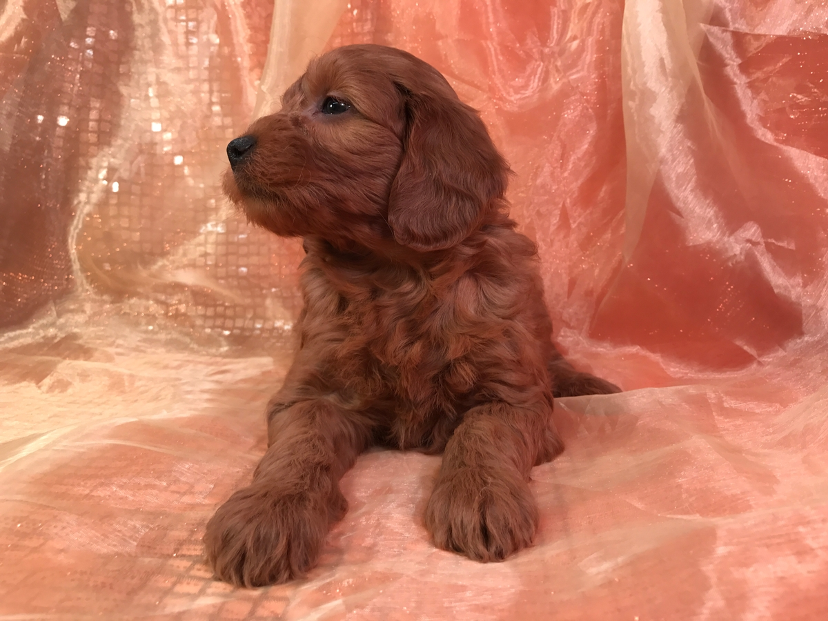 Dark Red Standard Pups, Iowa Goldendoodle Breeder