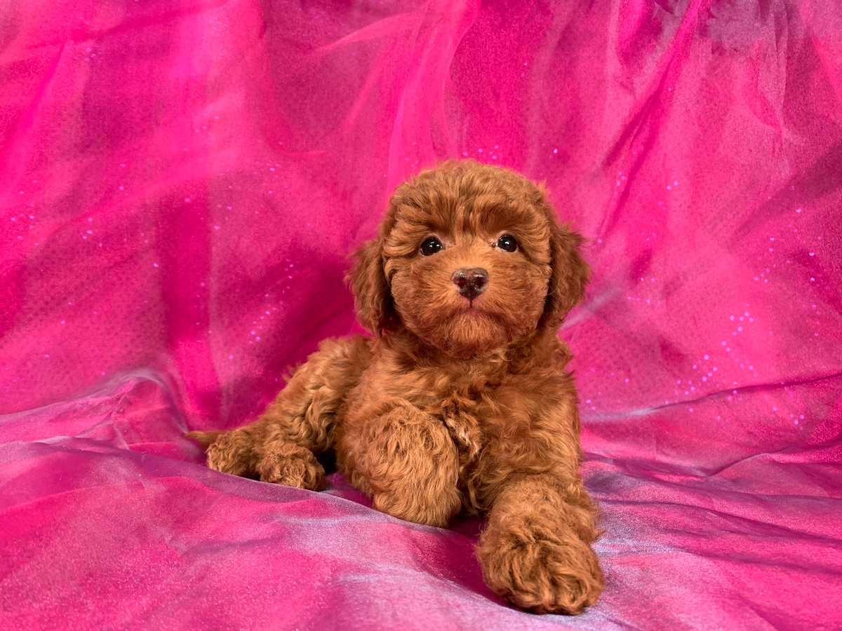 Dark Red Bichon Poodle Puppy For Sale, Female, DOB 1-22-2020 $1200