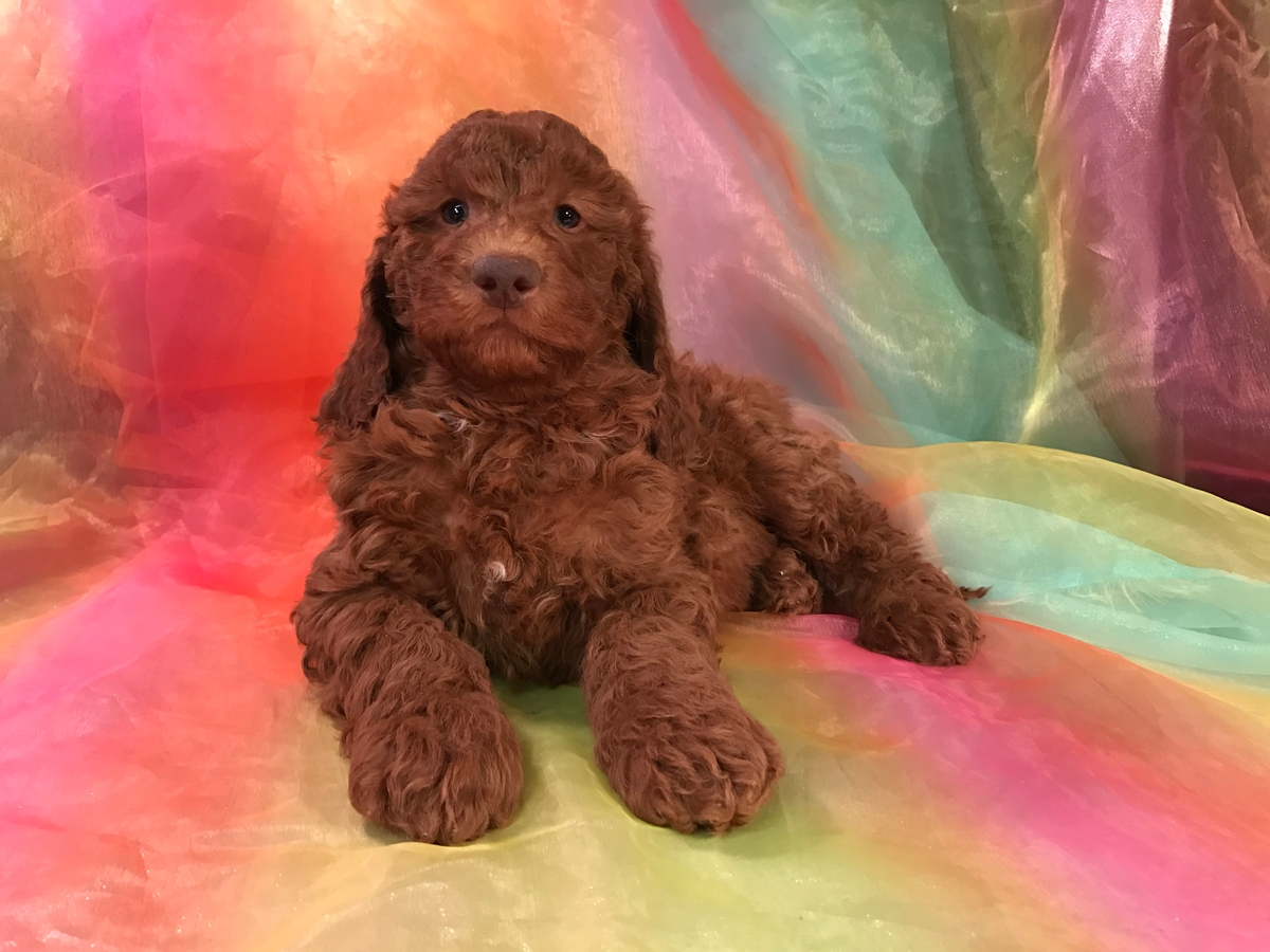 Dark Red Miniature Goldendoodle Breeders