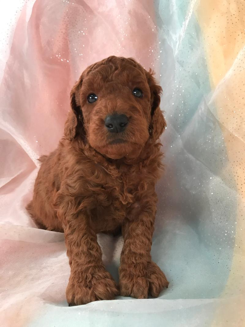 Curly Dark Red Miniature Goldendoodle Puppy for Sale. Shipping By Air Only $250. Less Than Most Mini Goldendoodle Breeders in Minnesota, Illinois, and Wisconsin.