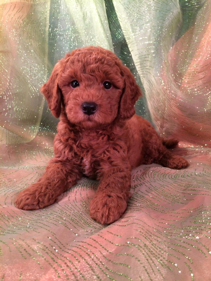 Very Dark Red Bichon poo Puppy $875