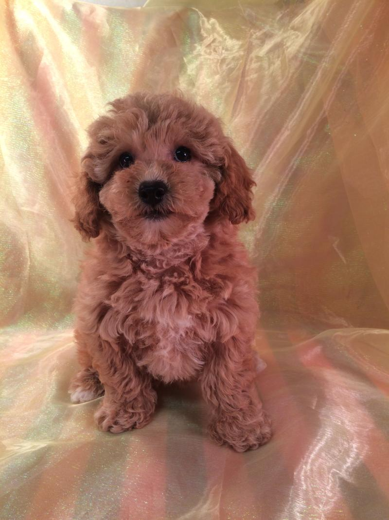 Red bichon poo