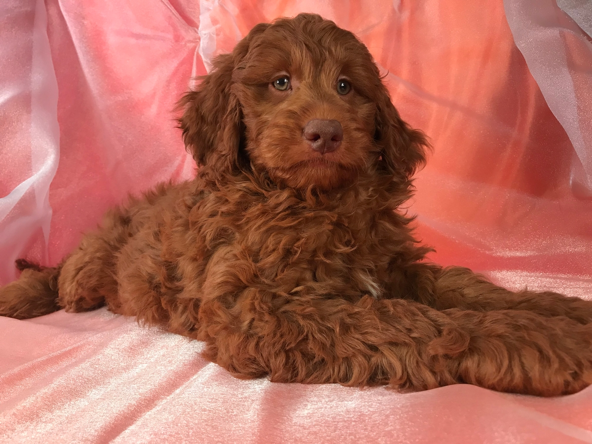 Miniature Goldendoodle Puppy For Sale-Dark Green Eyes-Ready Now!