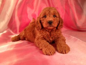 Female Miniature Goldendoodle Puppy for sale #3 Born June 19th 2013|Air fare to Maryland and Massachusetts only $150