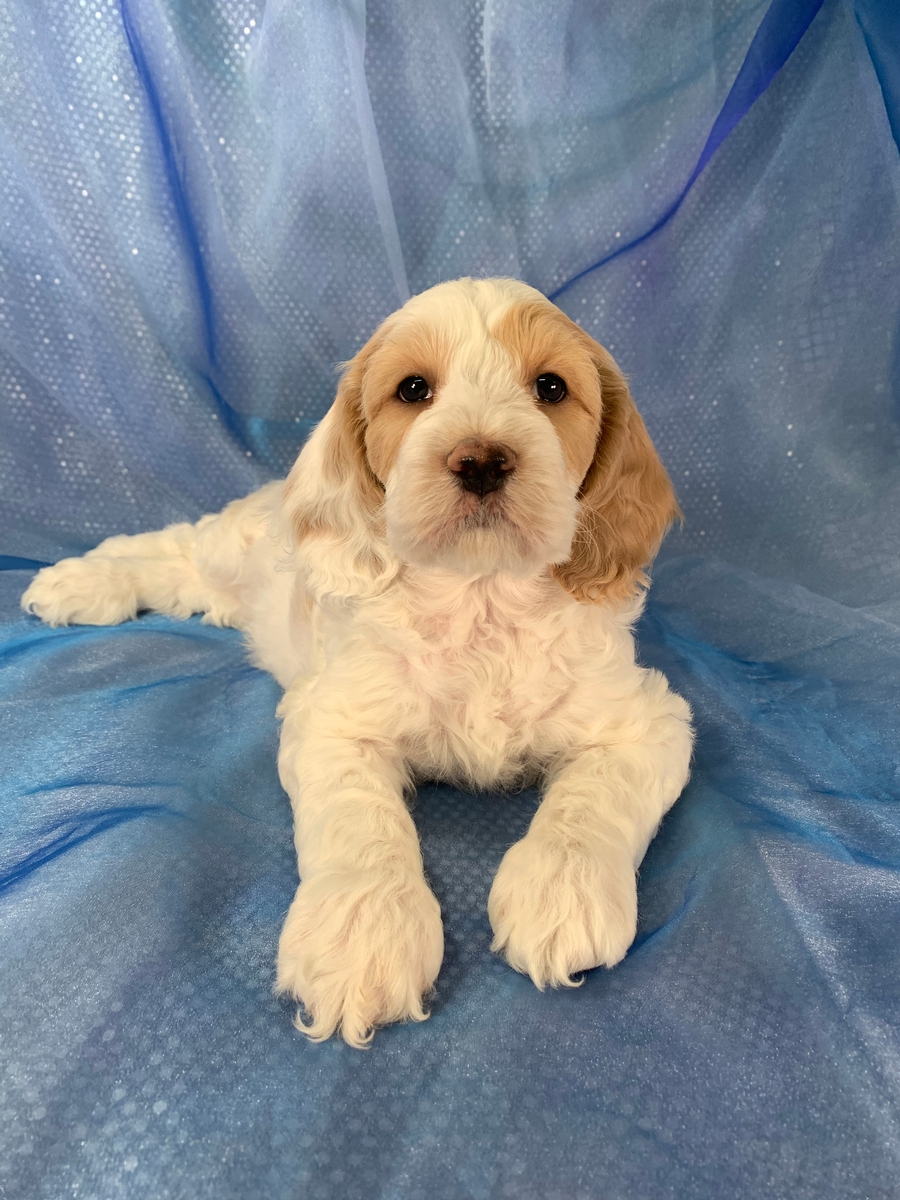 F1 Cockapoo Male Ready Now!