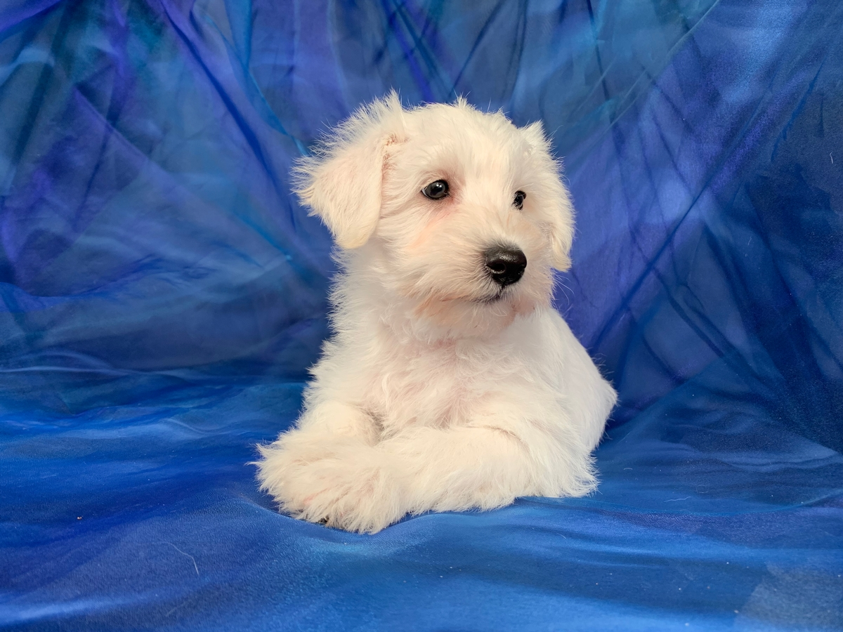 F1 Miniature Schnoodle Puppies for Sale Near Minnesota