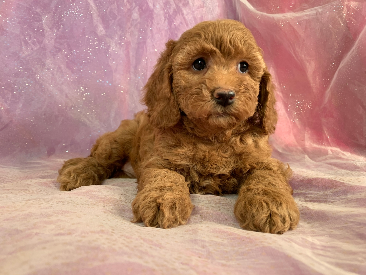Cockapoo, Red Litter