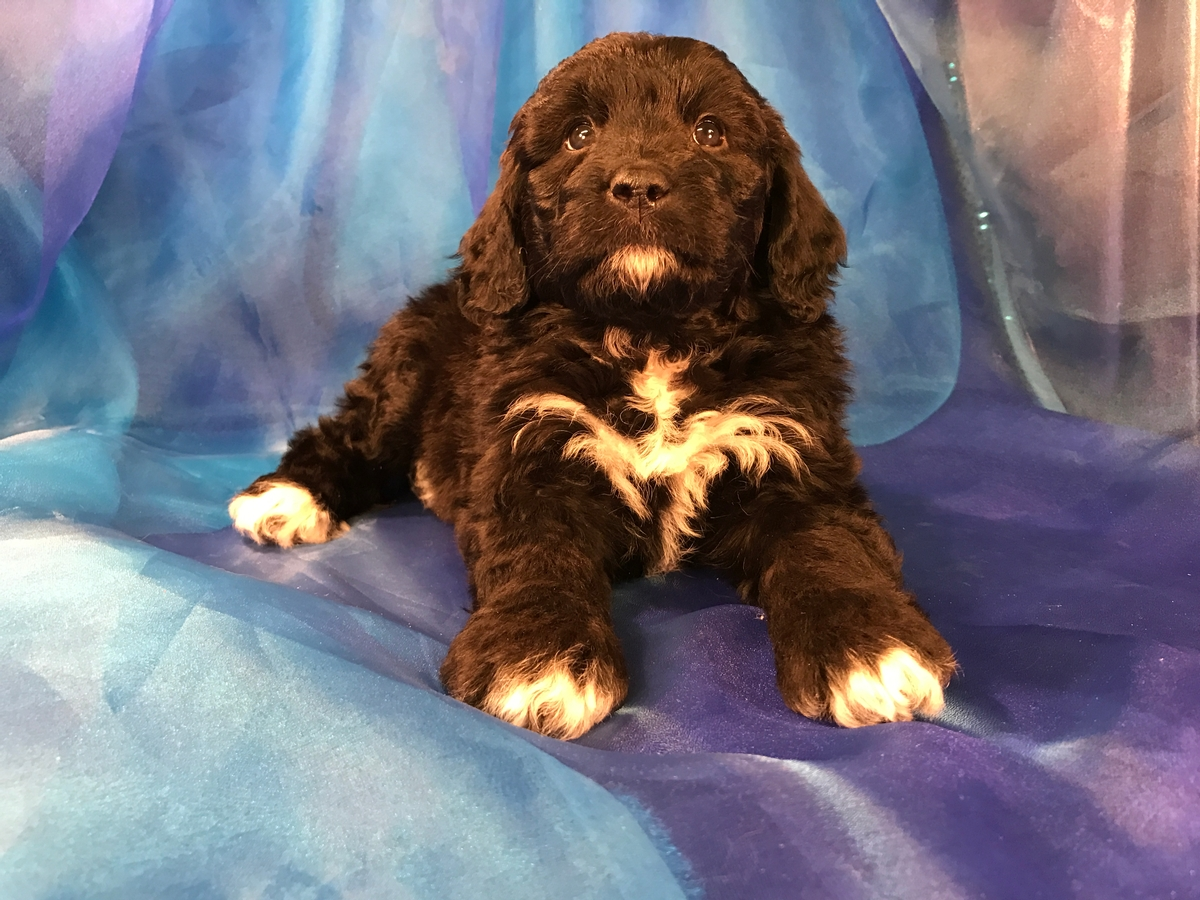 Female Black and White Mini Bernedoodle Puppy for Sale