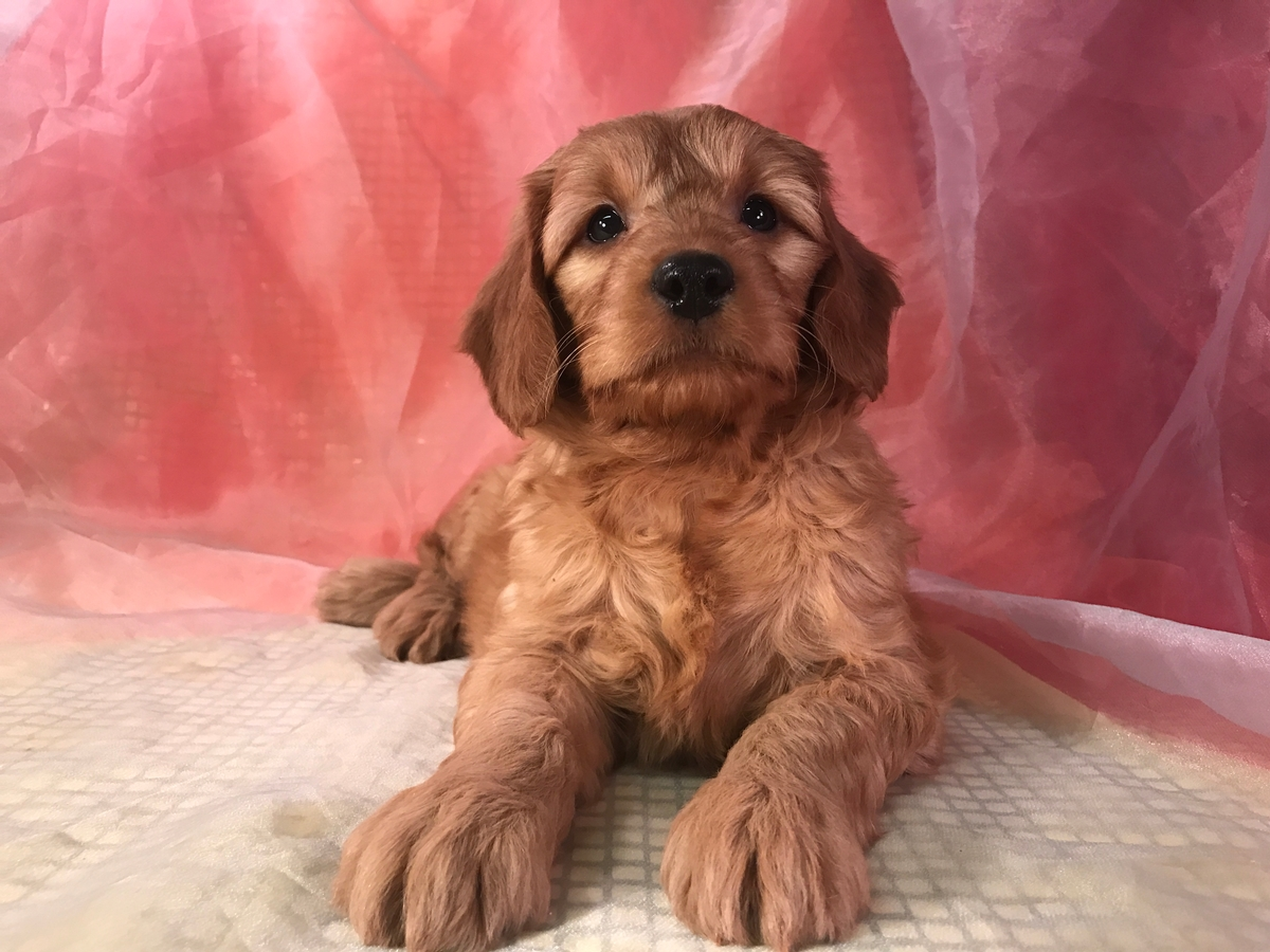 Female Standard Goldendoodle Puppy for Sale $950