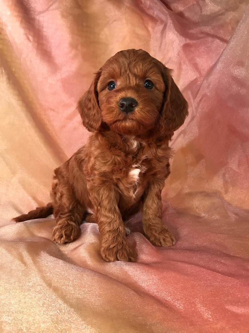 Dark Red Female F1b Mini Goldendoodle Pup for Sale