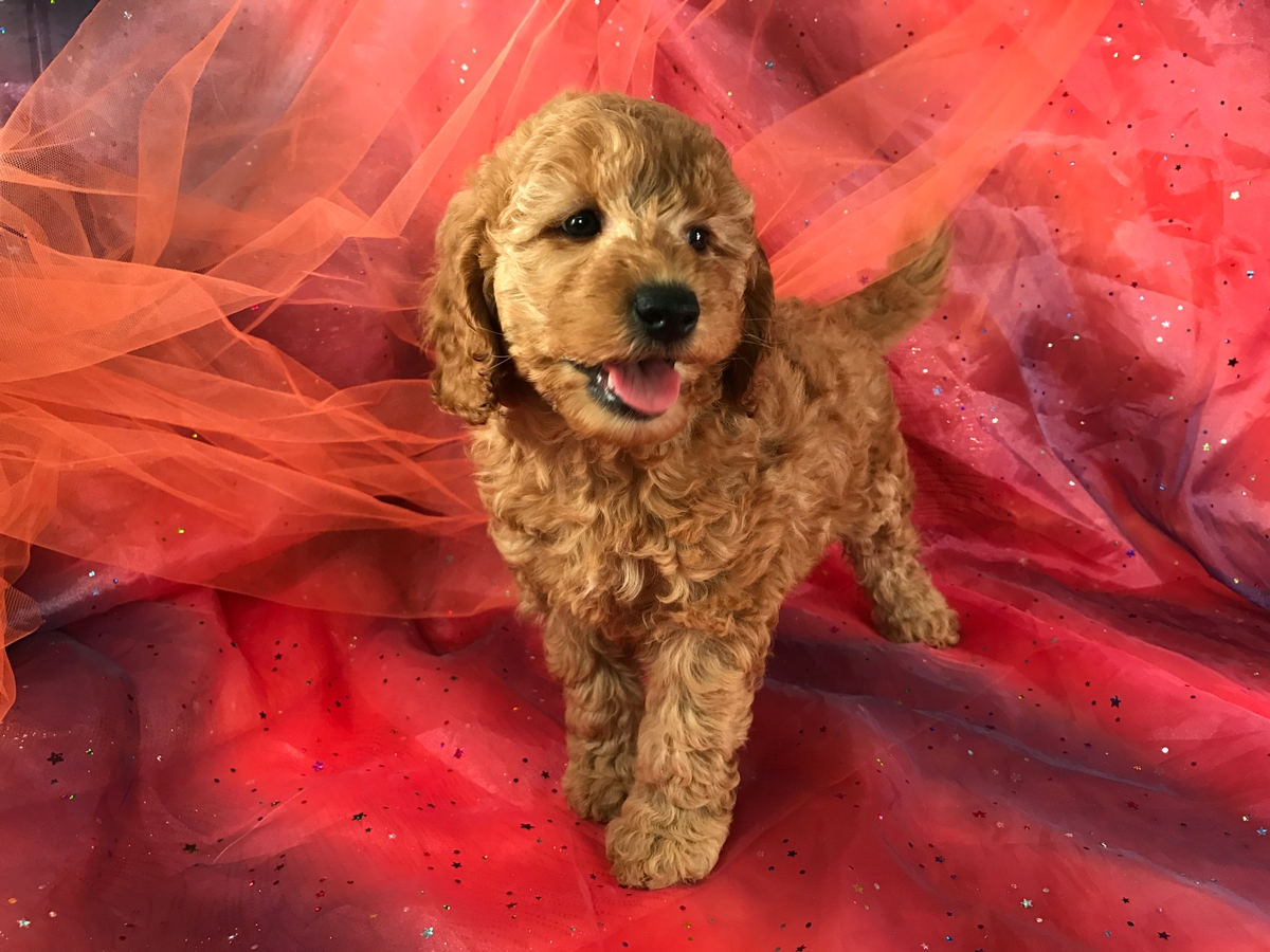 Female Apricot Colored Mini Goldendoodle Puppy for Sale $1500