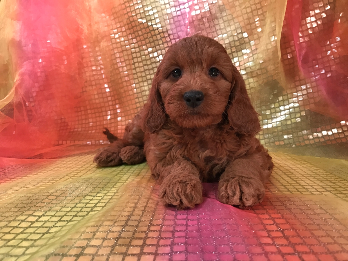 Female Mini Goldendoodle Puppies for Sale, Dark Reds