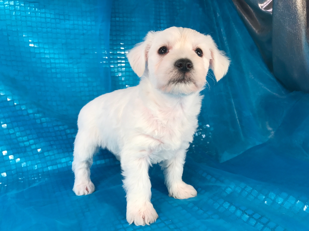 Female Schnoodle Puppy for Sale 4