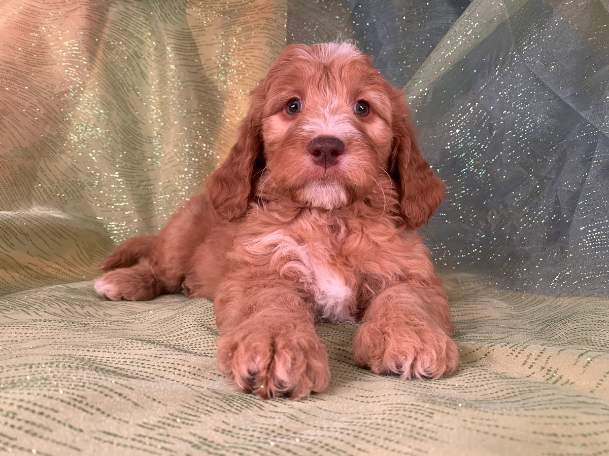 Female, Green eyes, Brown Nose, Miniature Goldendoodle, DOB 11-8-19 $1500