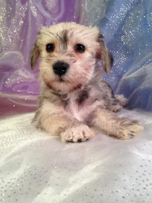 The Best Female Schnoodle Is For Sale By An Iowa Breeder.  Puppies Are Available To Go Home Soon!