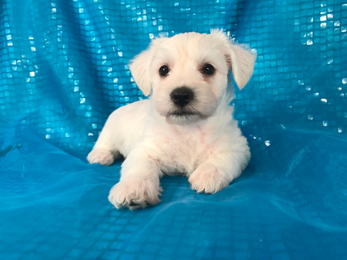 schnoodle, white, female, puppy