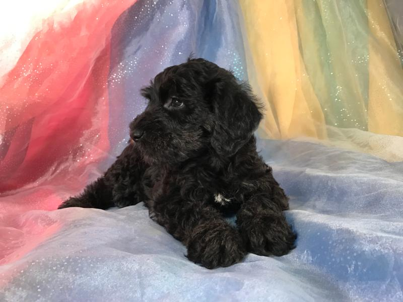 Miniature schnoodle pictures