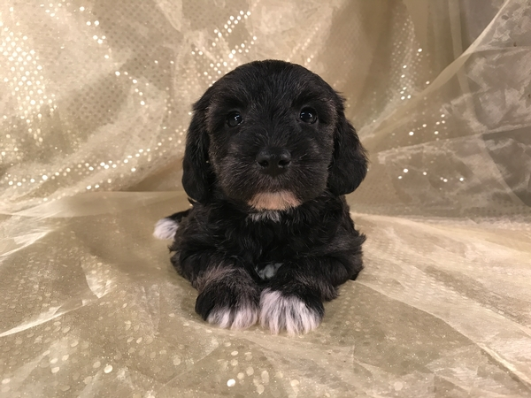 Black female schnoodle puppy for sale DOB 9-29-2017 $950