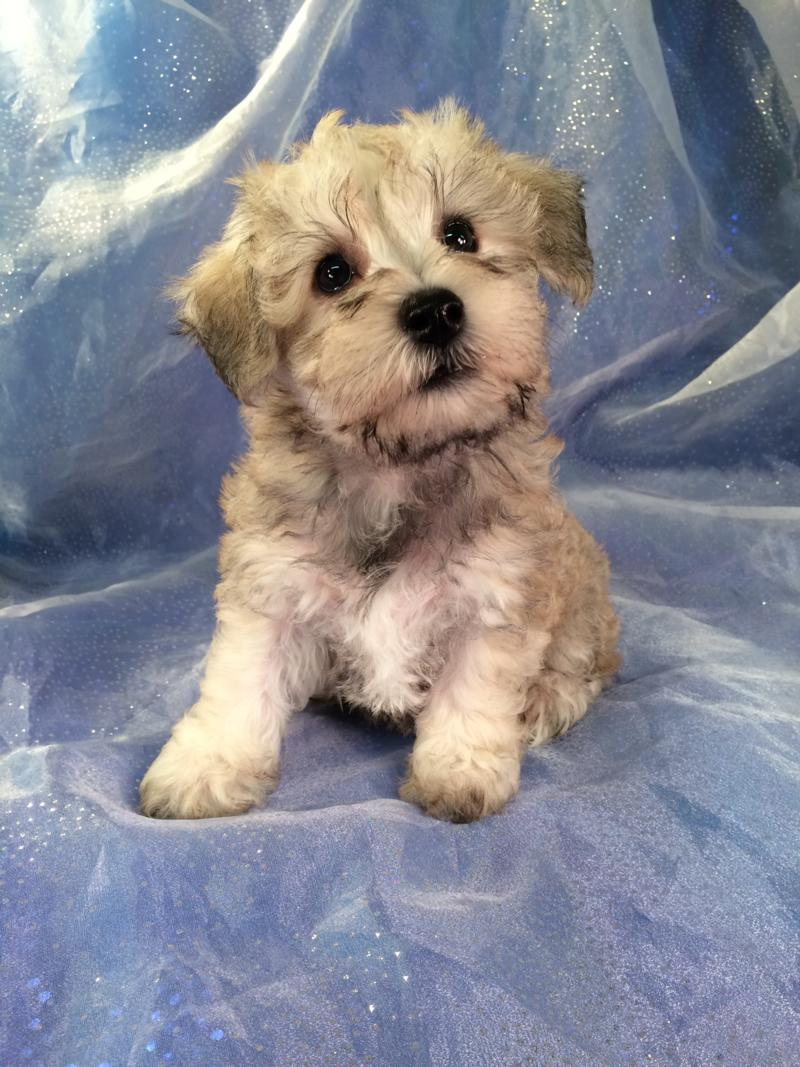 Female schnoodle