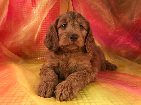 Dark Red Mini Goldendoodle Puppy for Sale DOB 9-3-17 $1500