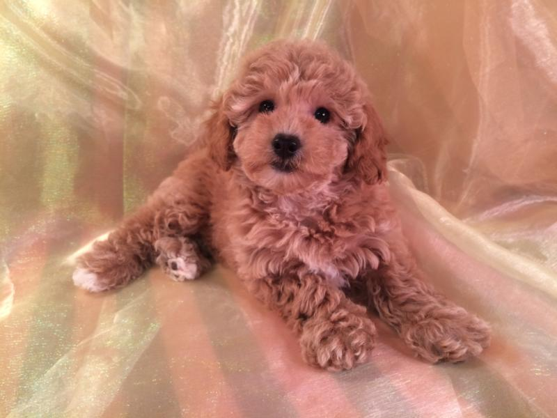 Female Red Mini Bichon Poodle Pup for sale