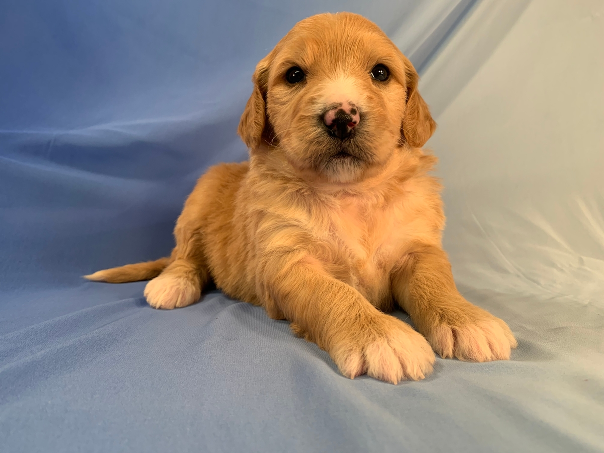 Female Standard Bernedoodle, Apricot With White Markings, DOB 20-11-2020