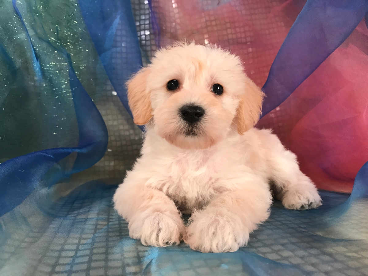 Female Miniature Schnoodle Puppy for Sale $950 DOB 1-10-2018