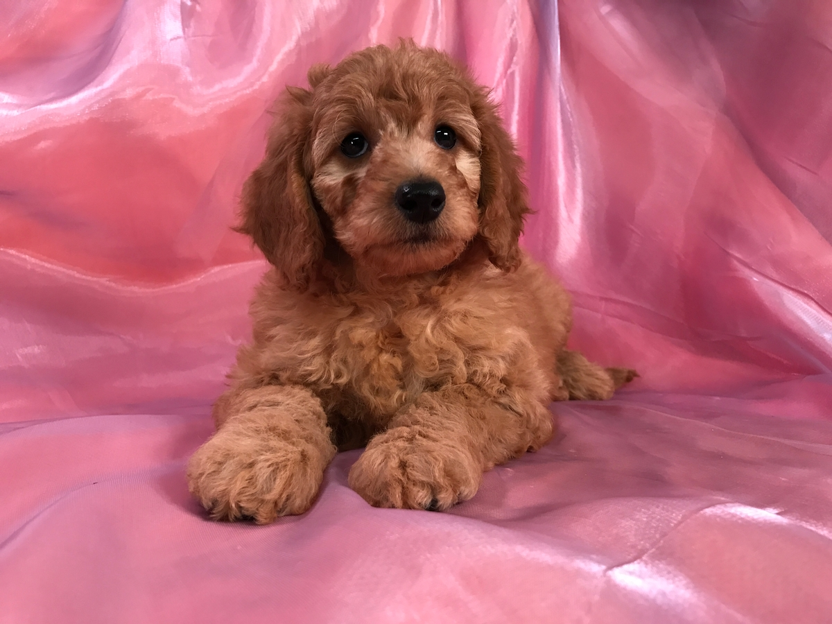 Female Mini Goldendoodle From Iowa for Sale $1500