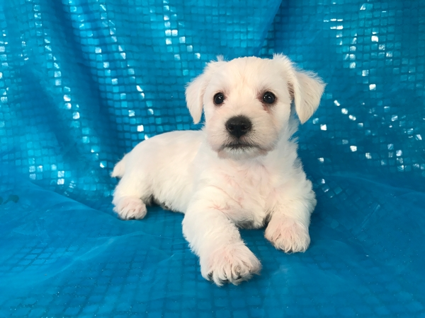 White Female Mini Schnoodle puppy