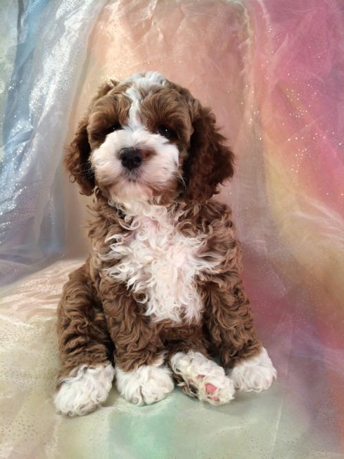 Female Parti colored Cockapoo Puppy for sale.  Ready Now!