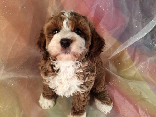 Red and white Baby cockapoo for sale