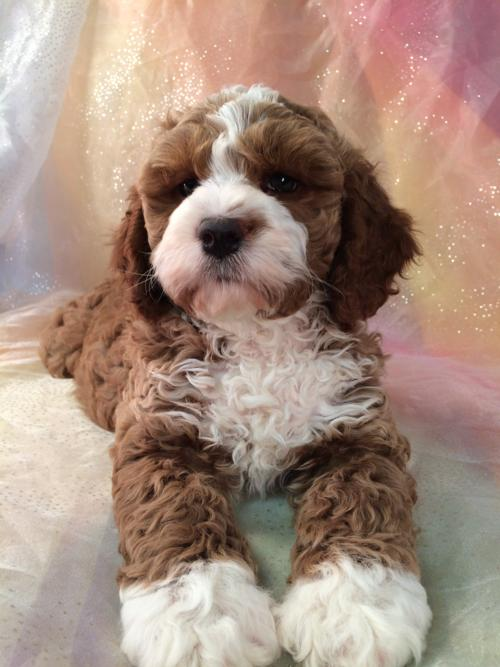 Female Parti colored Cockapoo Puppy for sale.  Ready Now! 6