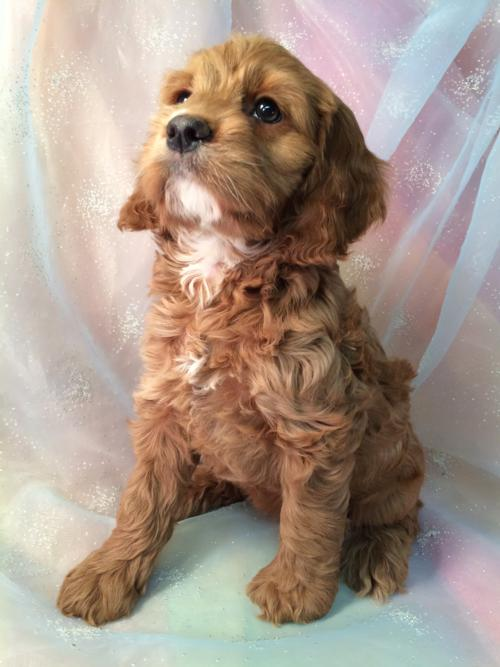 Parti color Female cockapoo pup for sale,IA,WI,MN,IL