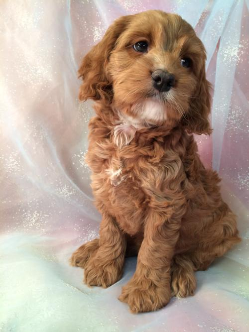 Cockapoo female,red